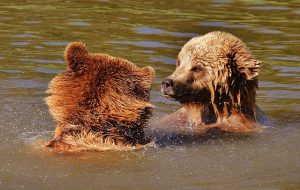two brown bears swimming looking at each other